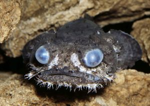 Grunting TOADFISH