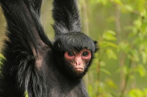 Guiana Spider Monkey / Red-faced Black Spider Monkey