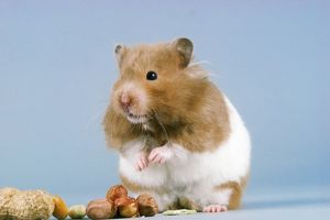 HAMSTER - and nuts