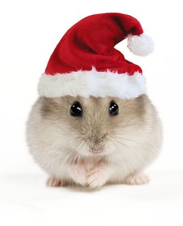 Hamster - wearing Christmas hat