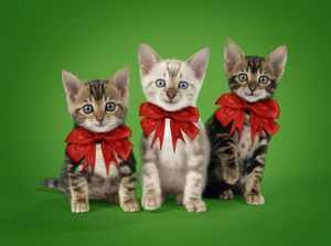 Three happy and cute Bengal kittens wearing red bows
