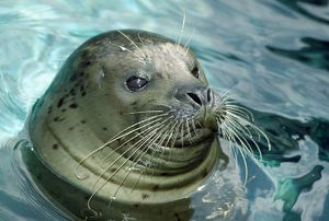 Harbor Seal - close-up of head in water - rocky