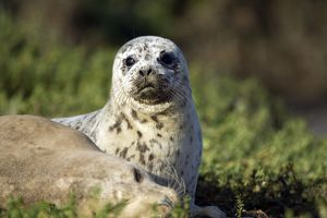 Harbor Seal - pup