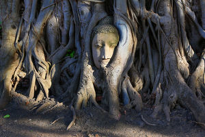 Head of a Buddha statue in the roots of a Bodhi tree, Ayutthauya