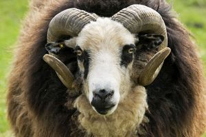 Head and horns of Shetland sheep - ram