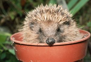 HEDGEHOG - close-up in flower pot
