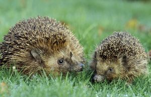 Hedgehogs - Mother and young in grass