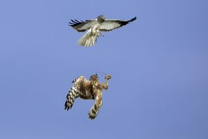 Hen Harrier - Male passing prey to female in flight