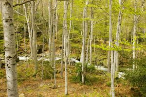 High altitude Beech forest - in spring