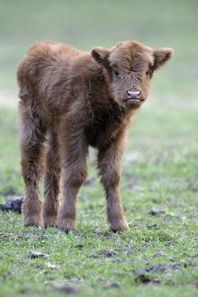 Highland Calf - in meadow, looking inquisitive.