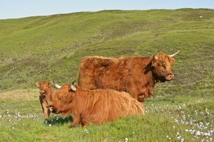 Highland cattle - two adults of which one is resting and one calf standing in moorland