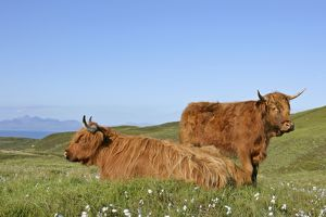 Highland Cattle - two adults with one resting on moorland with jagged peaks of the