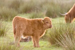 Highland Cattle - Calf on grazing marsh