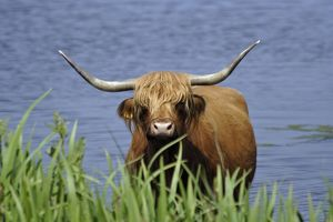 Highland Cattle - cow standing in lake to cool down in summer