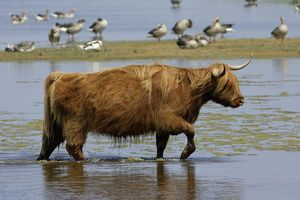 Highland Cattle - cow walking through lake,