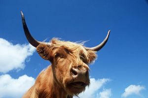 HIGHLAND CATTLE - head, sky and clouds