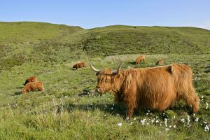 Highland Cattle - herd on moorland