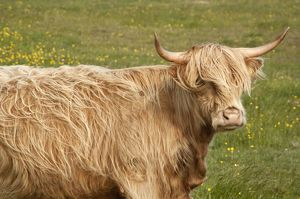 Highland cattle - Portrait showing head and shoulders