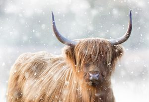 Highland Cattle - in winter snow