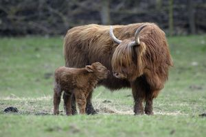 Highland Cow with Calf - Calf seeks contact from mother.