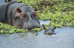 HIPPOPOTAMUS - adult and juvenile heads in weeds with young