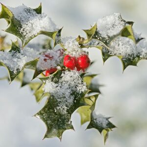 Holly - with frosted berries