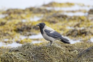 Hooded Crow - foraging on shore at low tide