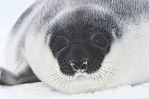 Hooded Seal - young 4 days old