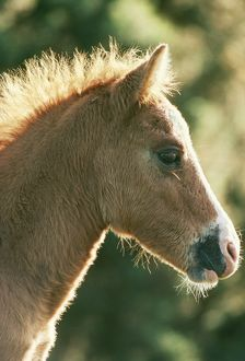 HORSE - New Forest pony. Foal
