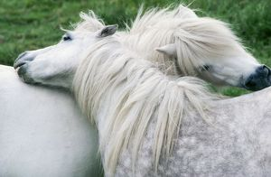 HORSE - two, Shetland Ponies mutual grooming