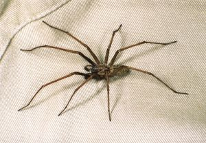House SPIDER - hairy, on cloth