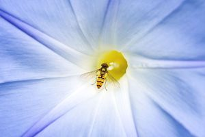 Hover Fly - feeding on Morning Glory flower