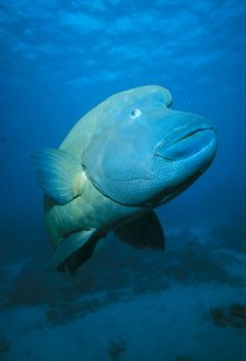 Hump-headed Maori Wrasse
