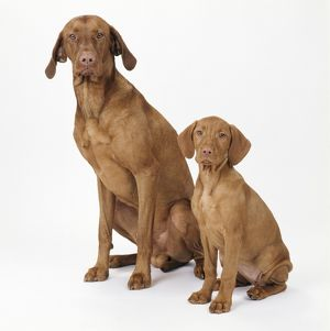 Hungarian Vizsla Dog - and puppy