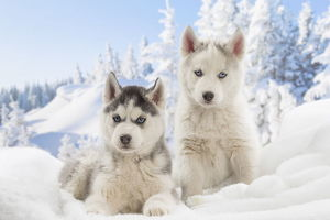 Husky puppies in the snow in winter