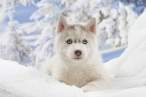 Husky puppy in the snow in winter
