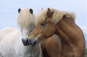 ICELANDIC HORSE - two smelling each other in communication. nuzzling.
