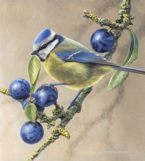 Illustration Blue Tit and Sloe Berries