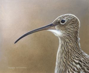 Illustration Curlew
