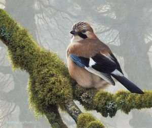 Illustration Eurasian Jay