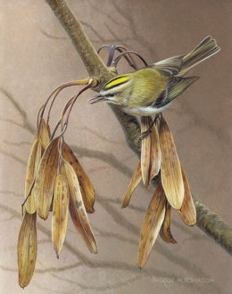 Illustration Goldcrest and Ash Keys