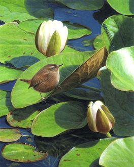 Illustration Wren and Waterlilies