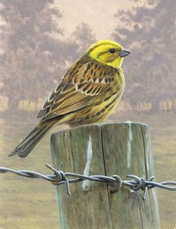 Illustration Yellowhammer