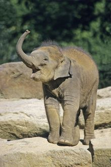 Indian / Asian Elephant - baby animal trumpeting