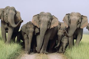 Indian / Asian ELEPHANT - Group on jungle track