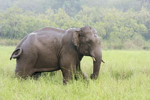 Indian / Asian Elephant after the rain