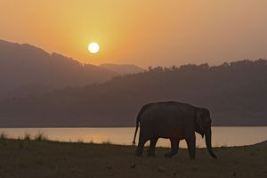 Indian / Asian Elephant - silhoutted at sunset.