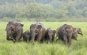 Indian / Asian Elephants in the rain-soaked grassland