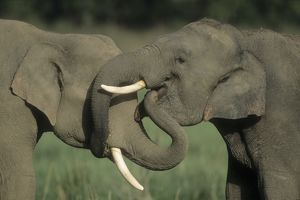Indian / Asian ELEPHANTS - two, greeting each other