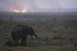 Indian Elephant - and forest fire